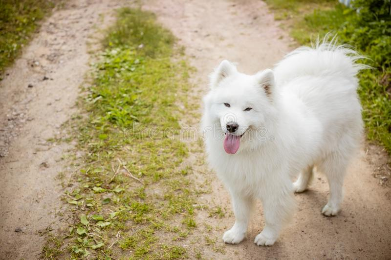 White fluffy cute samoyed tongue dog in the park path ,dog grooming.Samoyed Dog Walks on the grass. Care about pet stock image