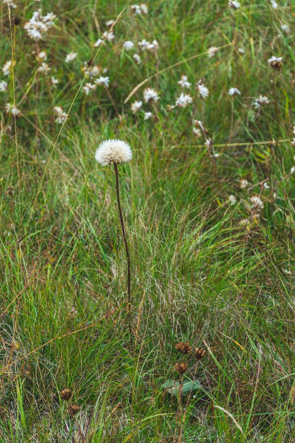 White Dandelion. White fluffy dandelion against bokeh mountain field covered with thick grass and small white flowery background royalty free stock photography