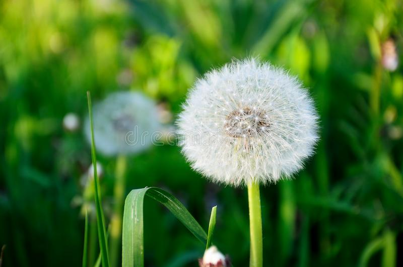 White fluffy dandelion stock photography