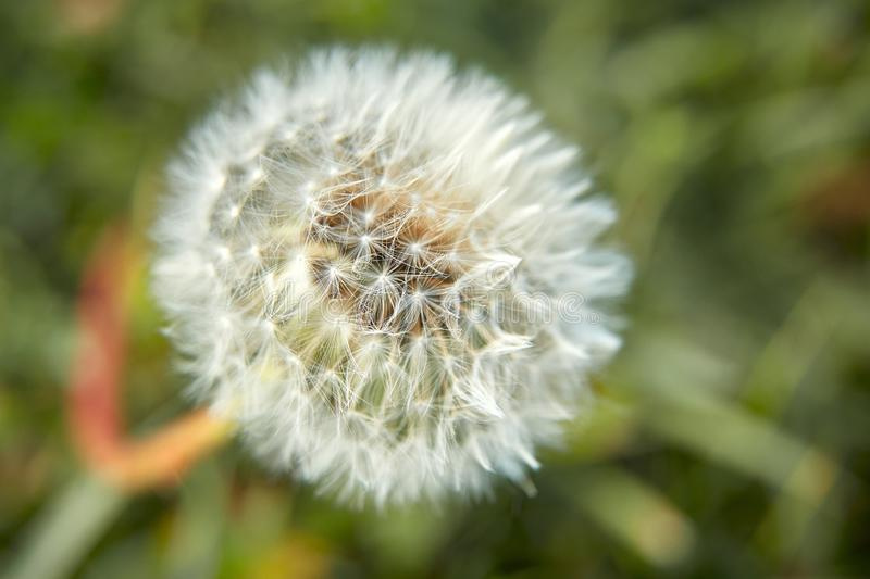 White fluffy dandelion on a background of green grass on a spring or summer day, in the sun, close-up. stock images