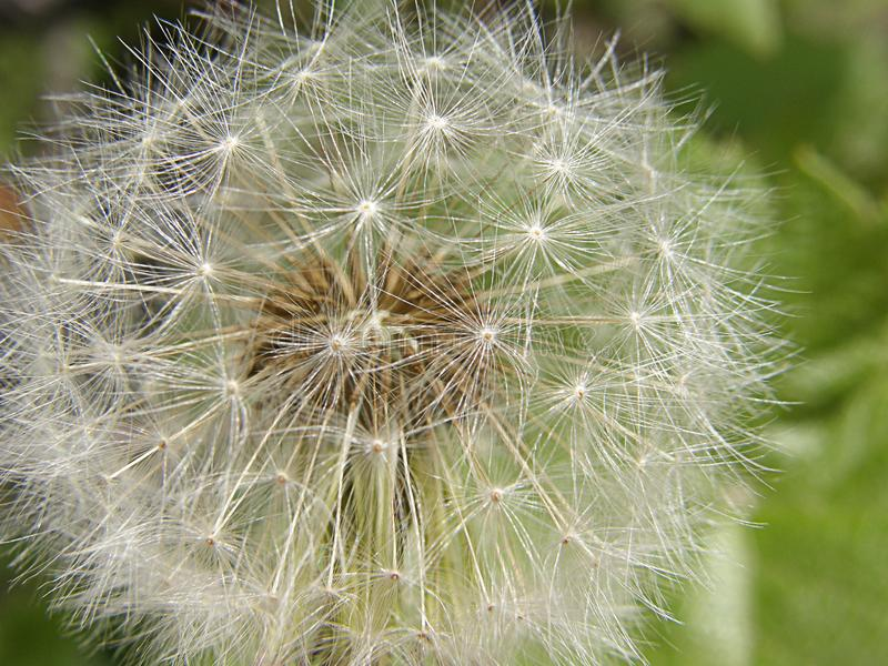 White fluffy dandelion close up ready fly apart royalty free stock images