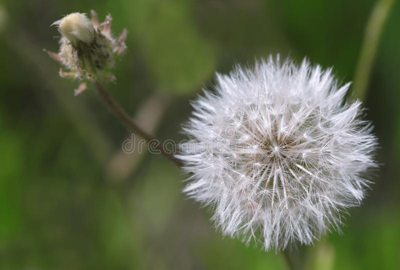 White and fluffy dandelion on a dark green blurred background. White, round and fluffy dandelion on a dark green blurred background, close-up photograph royalty free stock photos