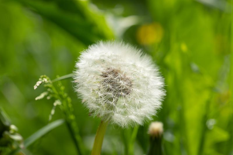 White fluffy dandelion flower on blurred green meadow background. royalty free stock photo