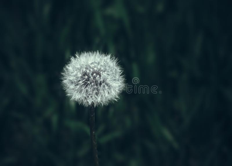 Dandelion Blowball Close-up On Dark Green Background stock photography