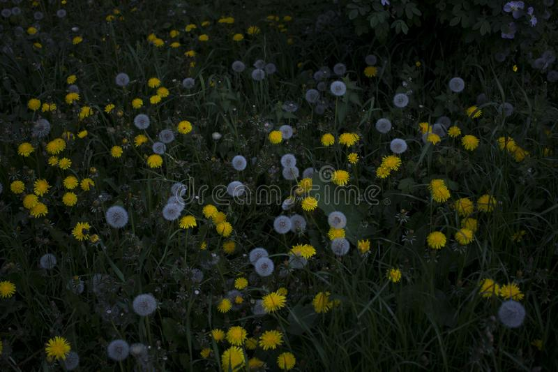 white and yellow dandelions among the grass royalty free stock image