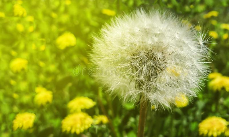 White fluffy dandelion on a green grass with sunlight royalty free stock photo