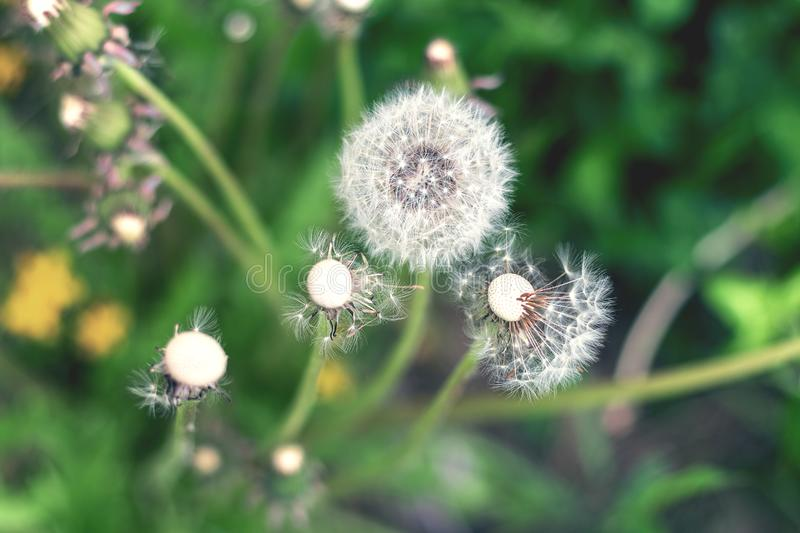 White fluffy dandelion in green grass, tinted in cool shades royalty free stock photos