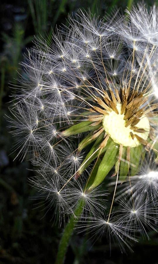 Macro dandelion royalty free stock images