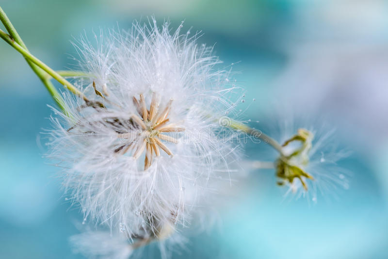 White fluffy dandelion with water drops. On blue nature background royalty free stock image