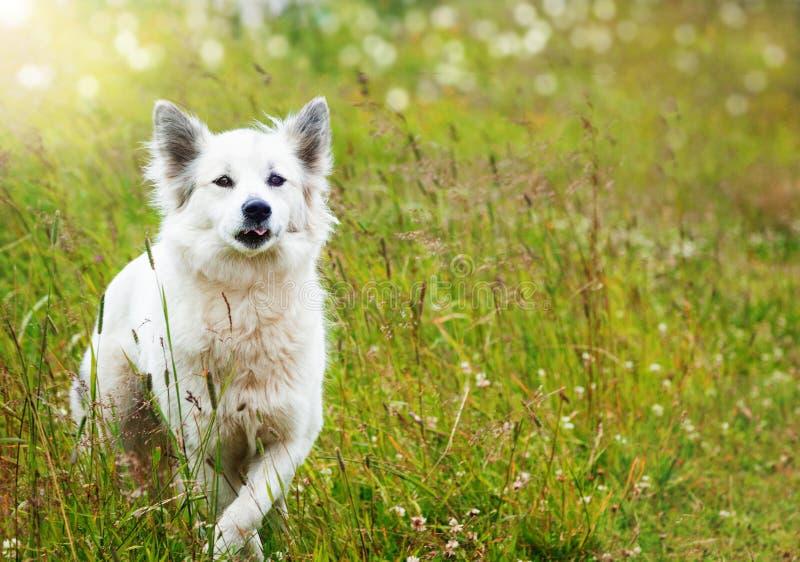 White fluffy dog runs stock images