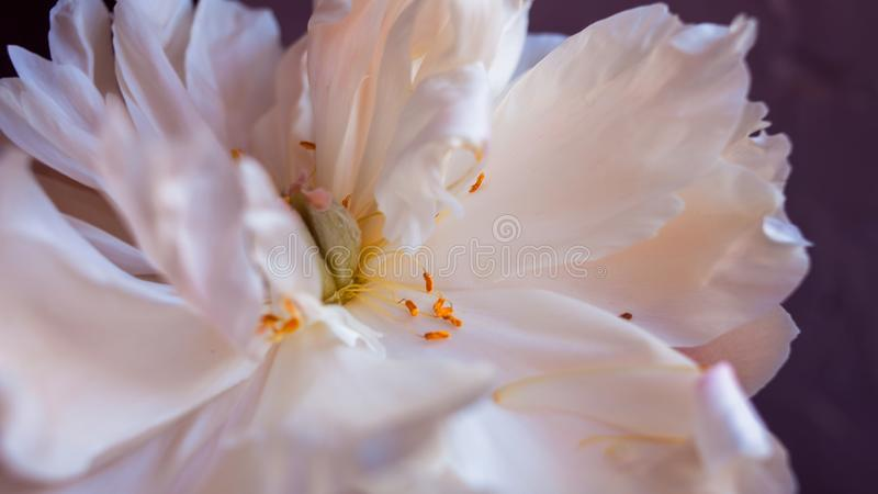 White fluffy fading peony, romantic decadence concept. Beautiful delicate flower, blooming stock photos
