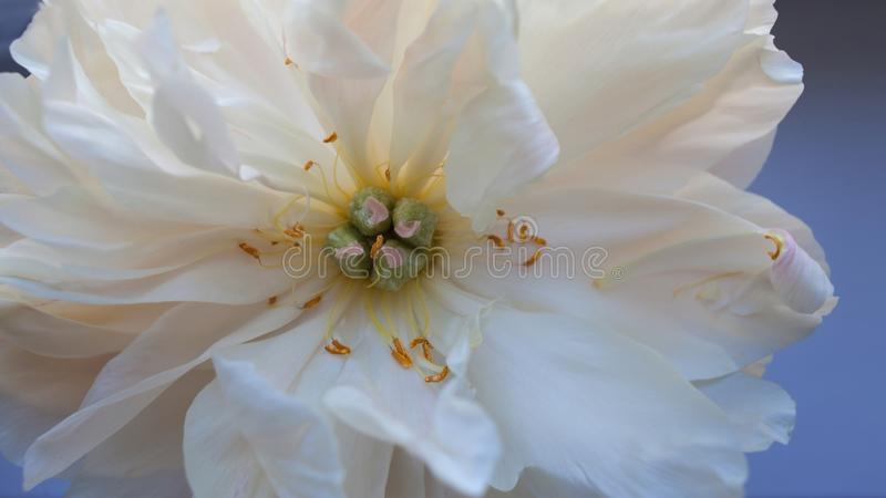 White fluffy fading peony, romantic decadence concept. Beautiful delicate flower, blooming royalty free stock photos