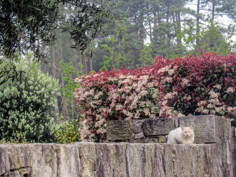White fluffy fur cat sitting on stone fence in garden under pink blooming flowers looking at camera with blue eyes stock photography