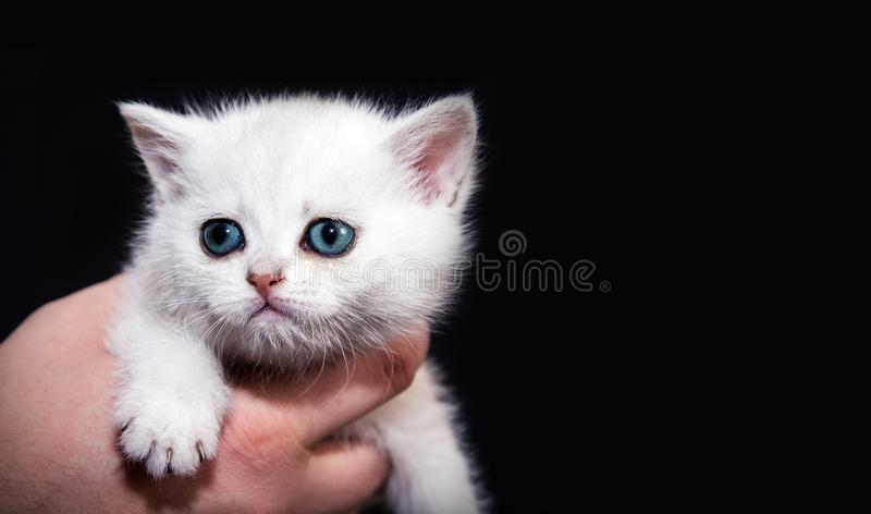 White fluffy kitten on his hands. On a black background. for advertising nursery or zoo products. British breed stock images