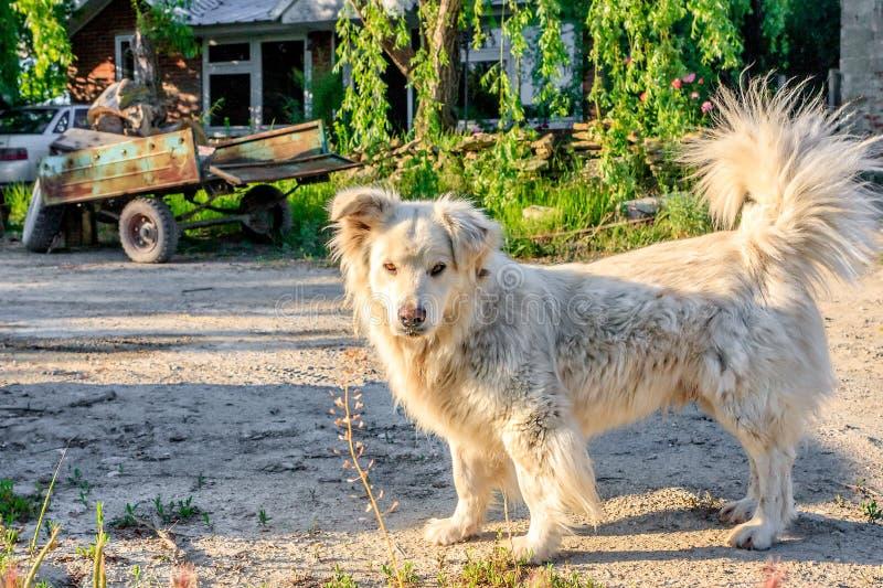 White fluffy mongrel dog at countryside watching at camera at sunset royalty free stock photos
