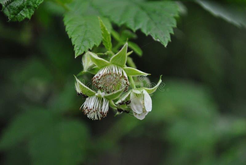 White fluffy raspberry flowers on the green bush with black ants, soft bokeh stock image