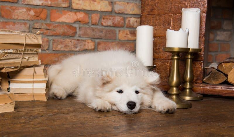 White fluffy Samoyed puppy dog with book. Funny white fluffy Samoyed puppy dog with book royalty free stock photo