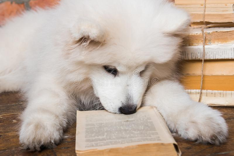 White fluffy Samoyed puppy dog with book. Funny white fluffy Samoyed puppy dog with book royalty free stock images