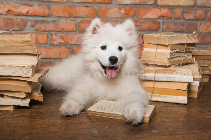White fluffy Samoyed puppy dog with book. Funny white fluffy Samoyed puppy dog with book stock images