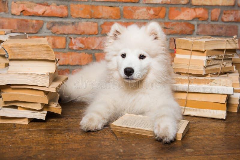 White fluffy Samoyed puppy dog with book. Funny white fluffy Samoyed puppy dog with book stock photo