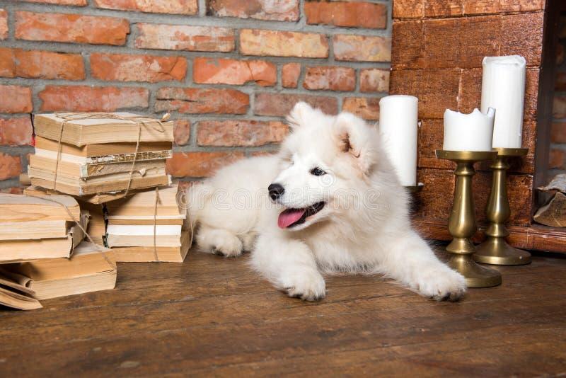 White fluffy Samoyed puppy dog with book. Funny white fluffy Samoyed puppy dog with book stock photos