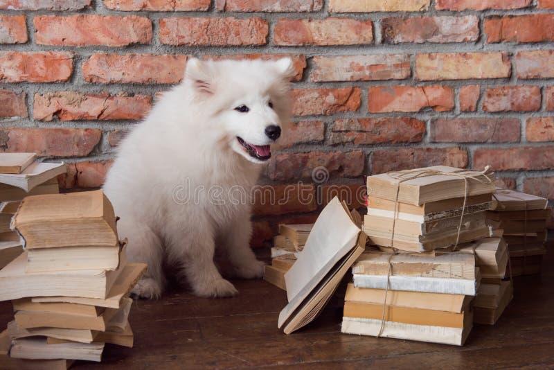 White fluffy Samoyed puppy dog is reading book. Funny white fluffy Samoyed puppy dog is reading book stock photos