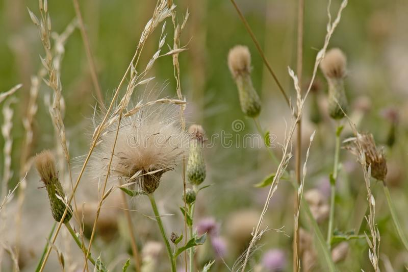 White fluffy thistle seeds on overblown flowers stock image