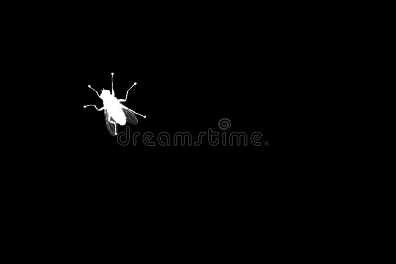 White fly silhouette on black background isolated close up, diptera bloodsucking insect macro, insect sign, pest bug symbol stock photography