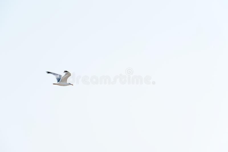 White flying gull. On blue clean background royalty free stock photos