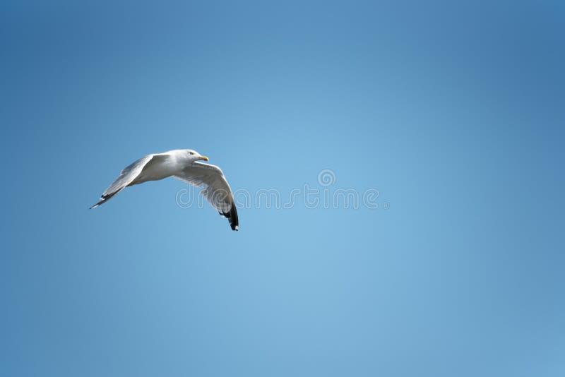 White flying gull. On the sky stock images