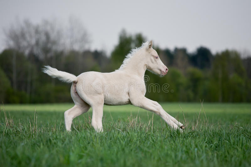 Download White Foal Gallops In Field Stock Photo - Image of purebred, green: 24343308