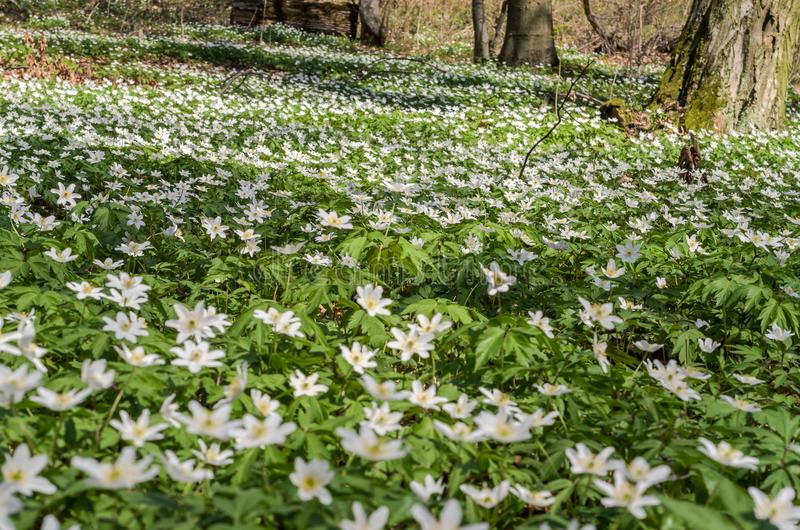 White forest flowers of primroses on a forest glade on a spring sunny day royalty free stock images