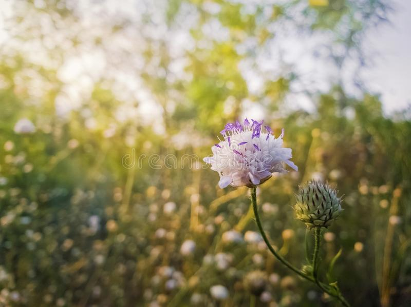 White form of Field scabious Knautia arvensis with purple pistils flowering in the steppe nature. Tiny wildflowers closeup royalty free stock photo