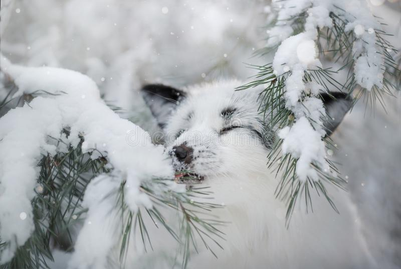 White fox fur in the snow in winter. On nature stock photos