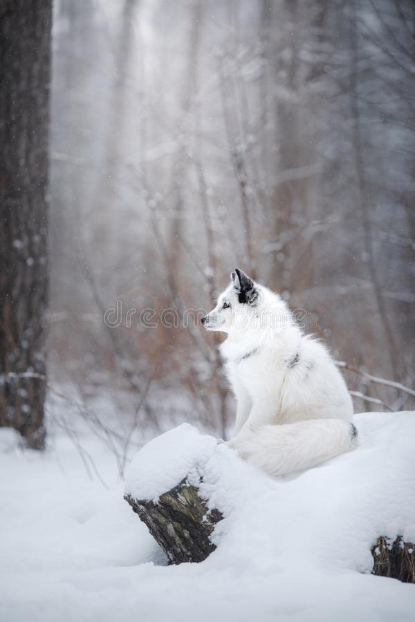 White fox fur in the snow in winter. On nature stock image