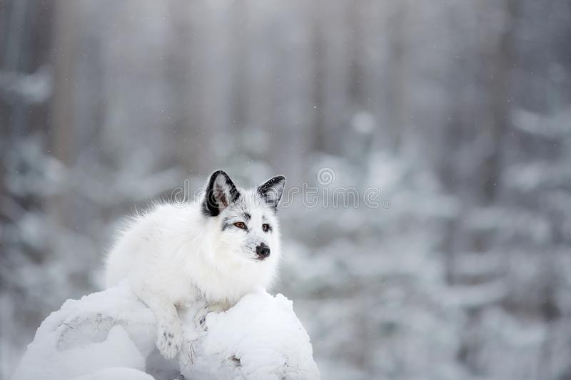 White fox fur in the snow in winter. On nature royalty free stock images