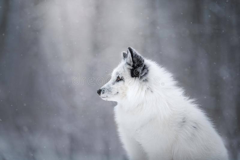 White fox fur in the snow in winter. On nature stock photo
