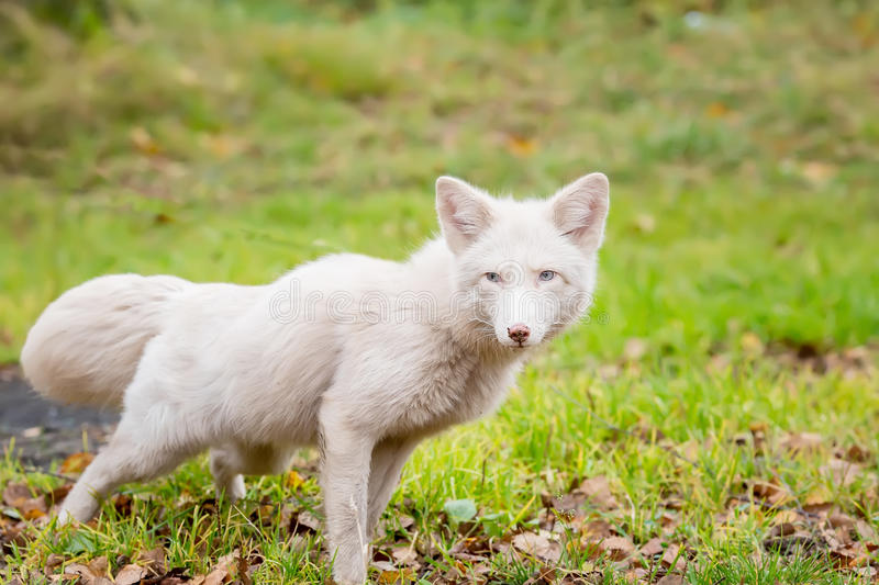 White Fox hunts. age 2 years royalty free stock image