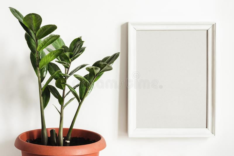 White frame Mockup and potted plant Zamioculcas stock image