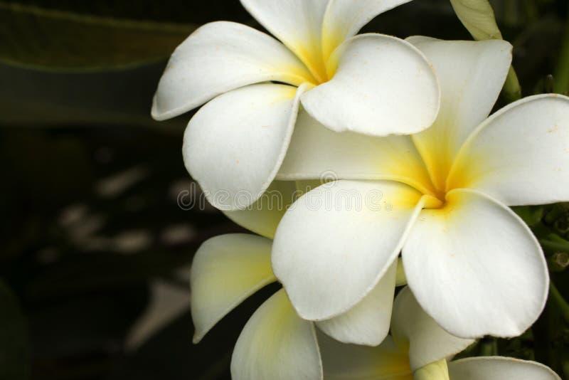 White frangipani stock image image of exotic aromatic 84628119 download white frangipani stock image image of exotic aromatic 84628119 mightylinksfo