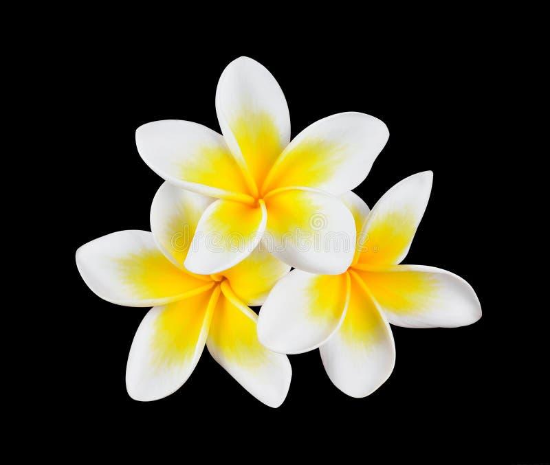 White frangipani flower on black royalty free stock image
