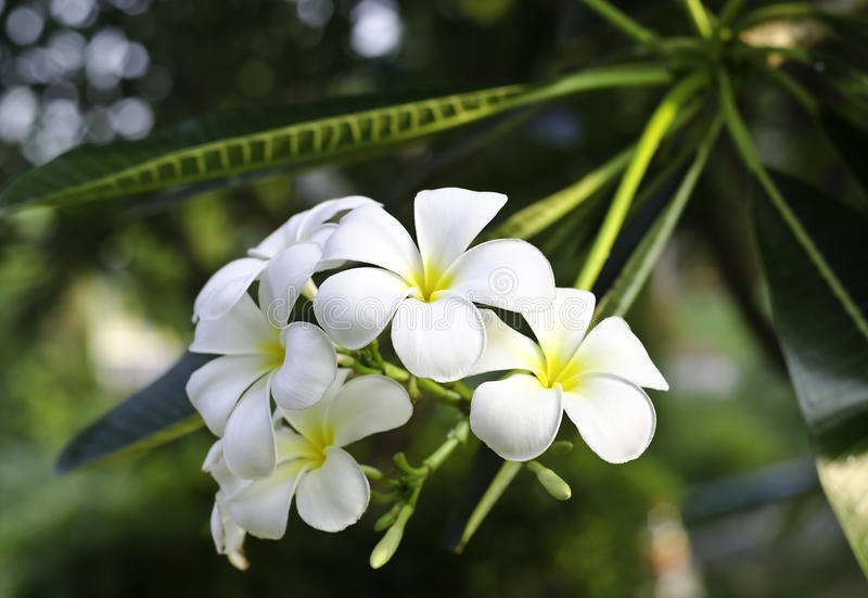 White frangipani flower royalty free stock photography