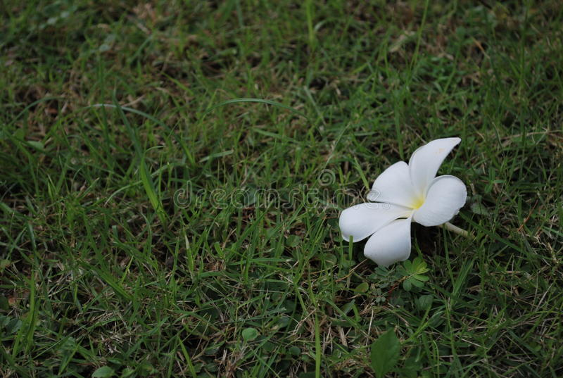 White frangipani flower on grass royalty free stock photos