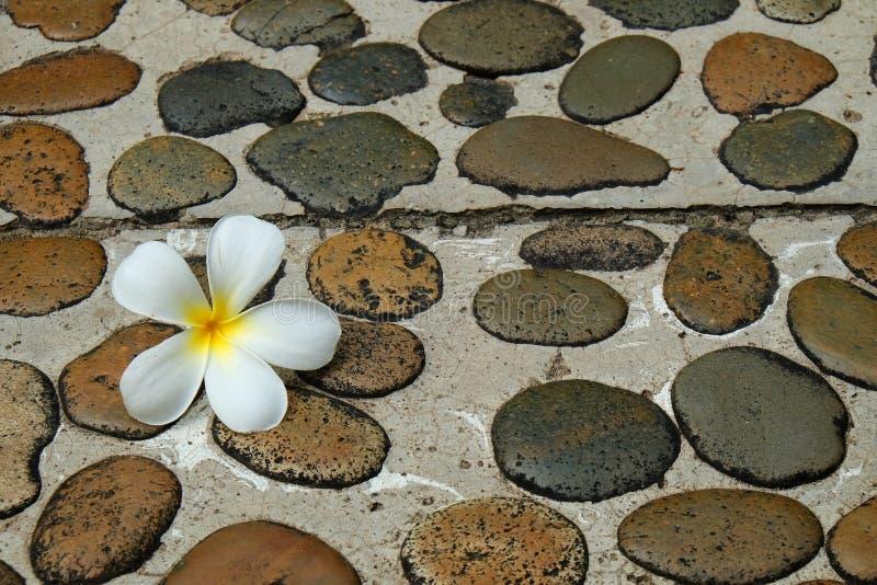 White Frangipani flower on wet stone footpath to spa stock image