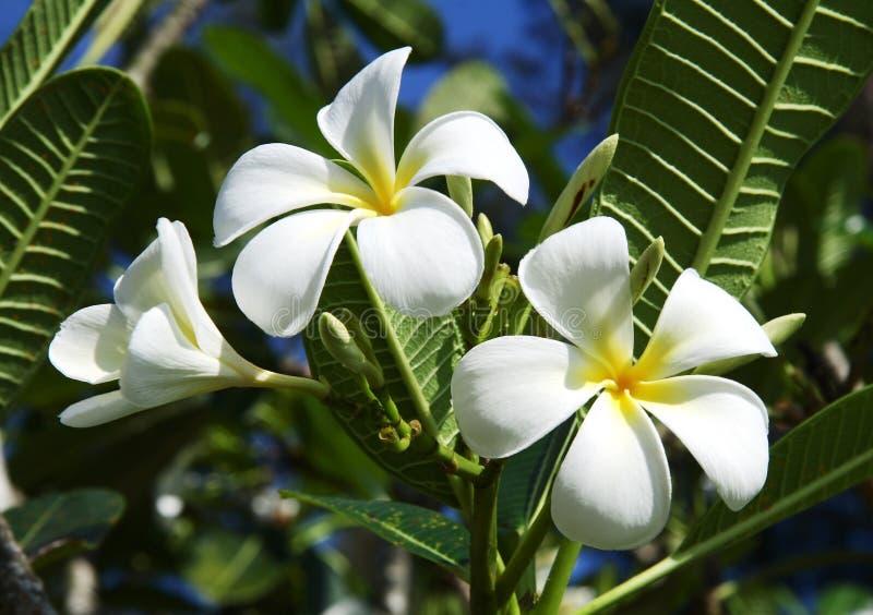 White Frangipani flowers royalty free stock photo