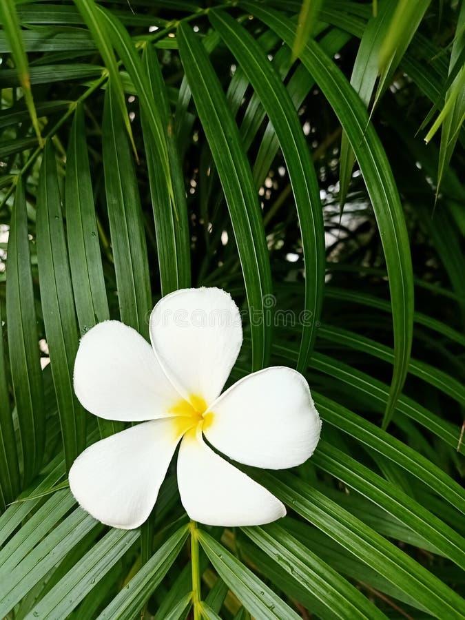 White frangipani plumeria flower royalty free stock photo