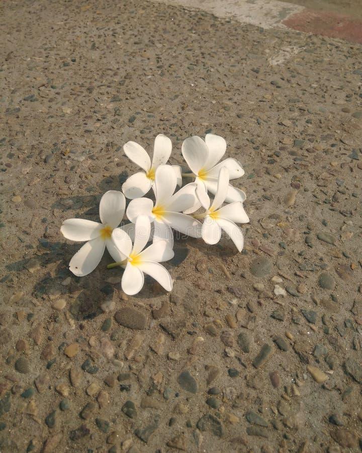 White frangipani plumeria tropical flower 0n the floor royalty free stock image