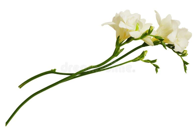White freesia flowers stock image image of fresh twig 108564557 download white freesia flowers stock image image of fresh twig 108564557 mightylinksfo