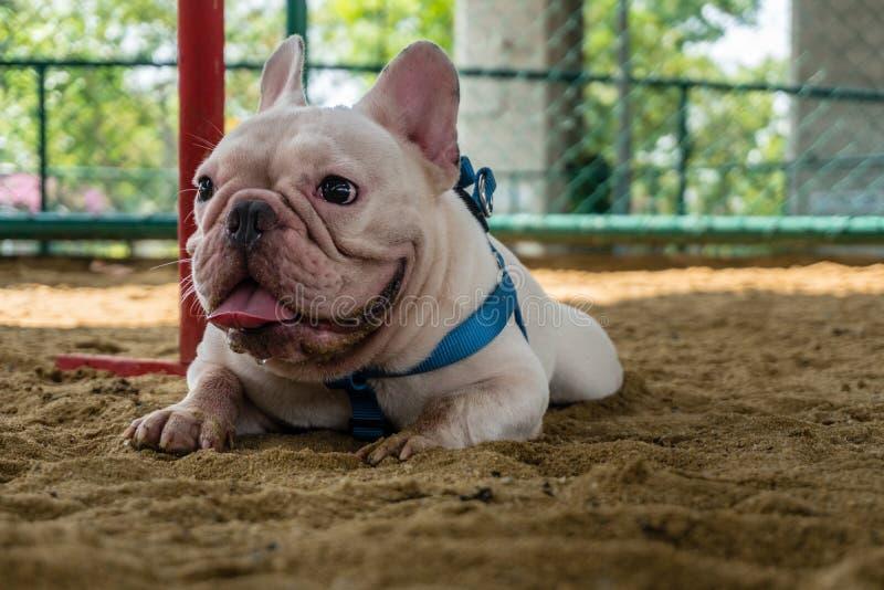 White French Bulldog Crouch på nationalparkens sand royaltyfri fotografi