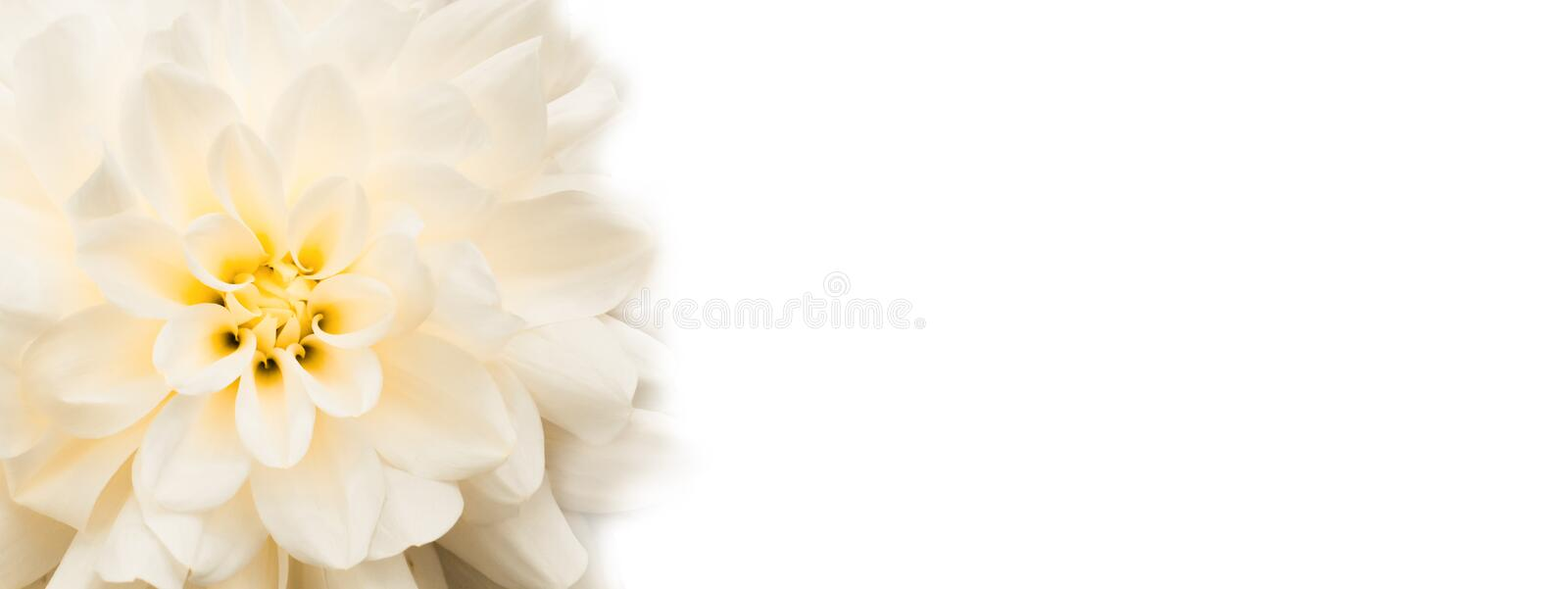 Flower background. White fresh dahlia flower with yellow details macro photo banner background wide panorama. White fresh dahlia flower with yellow details macro stock photos